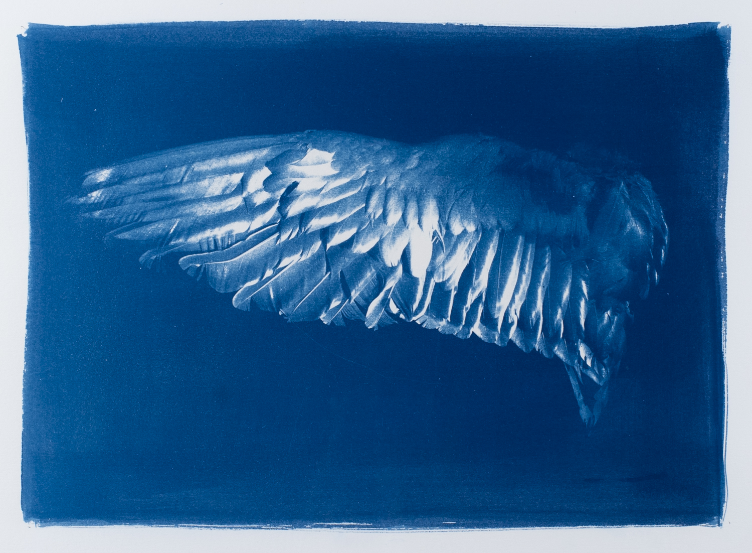 Cyanotype print of an outstretched wing of a bird. The species is unknown, as the museumspecimen that was photographed was not labelled.