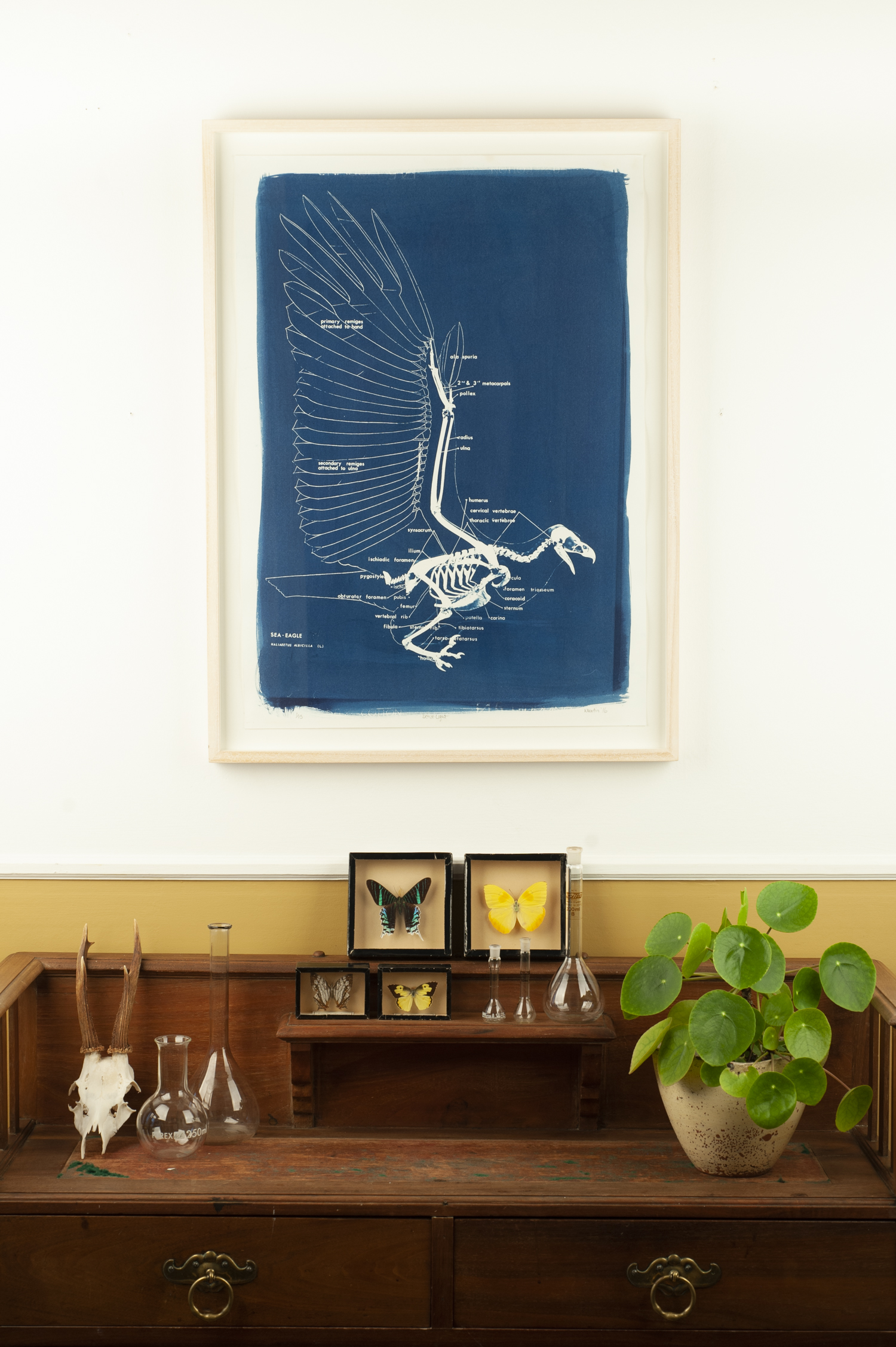 Cyanotype print of sea eagle skeleton framed and hanging on a wall above a cabinet with butterfly specimens and a potted pilea plant on it.