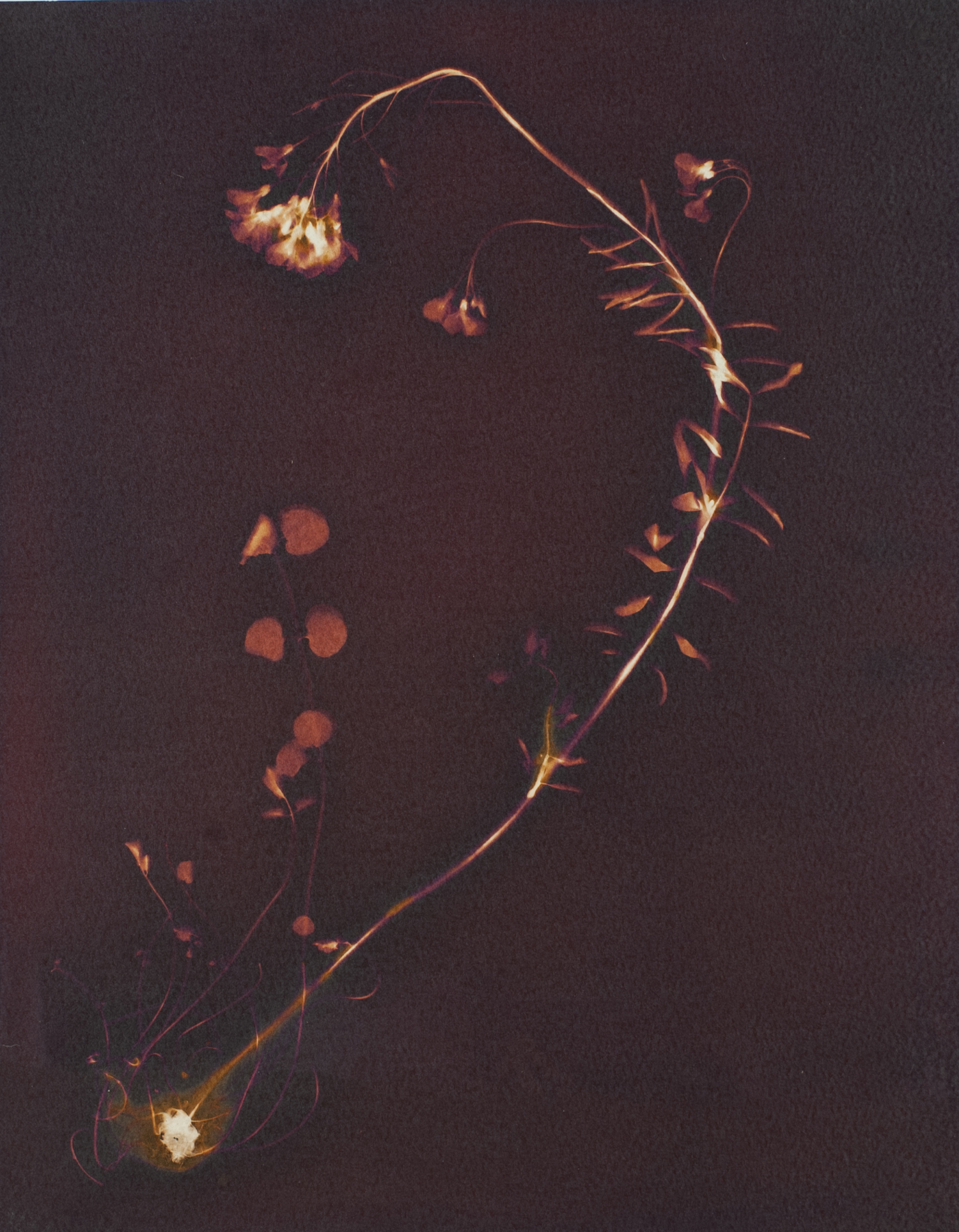 A purple orange and yellow hued lumen print of a wildflower, showing the full plant including roots.