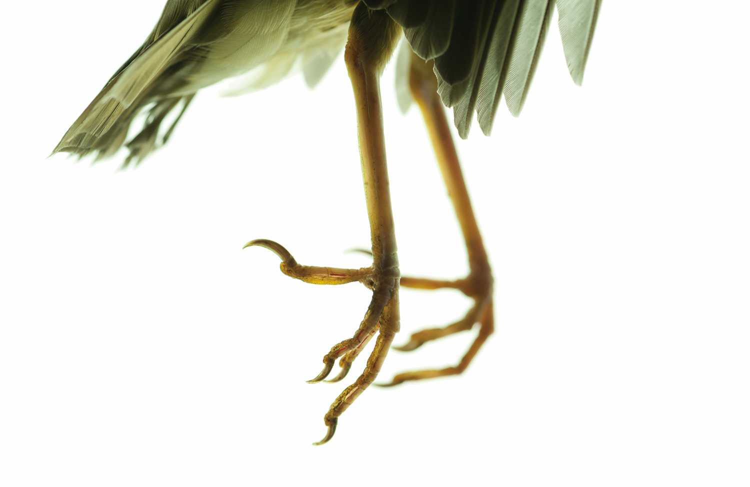 Photograph of a song thrush's feet on a white background